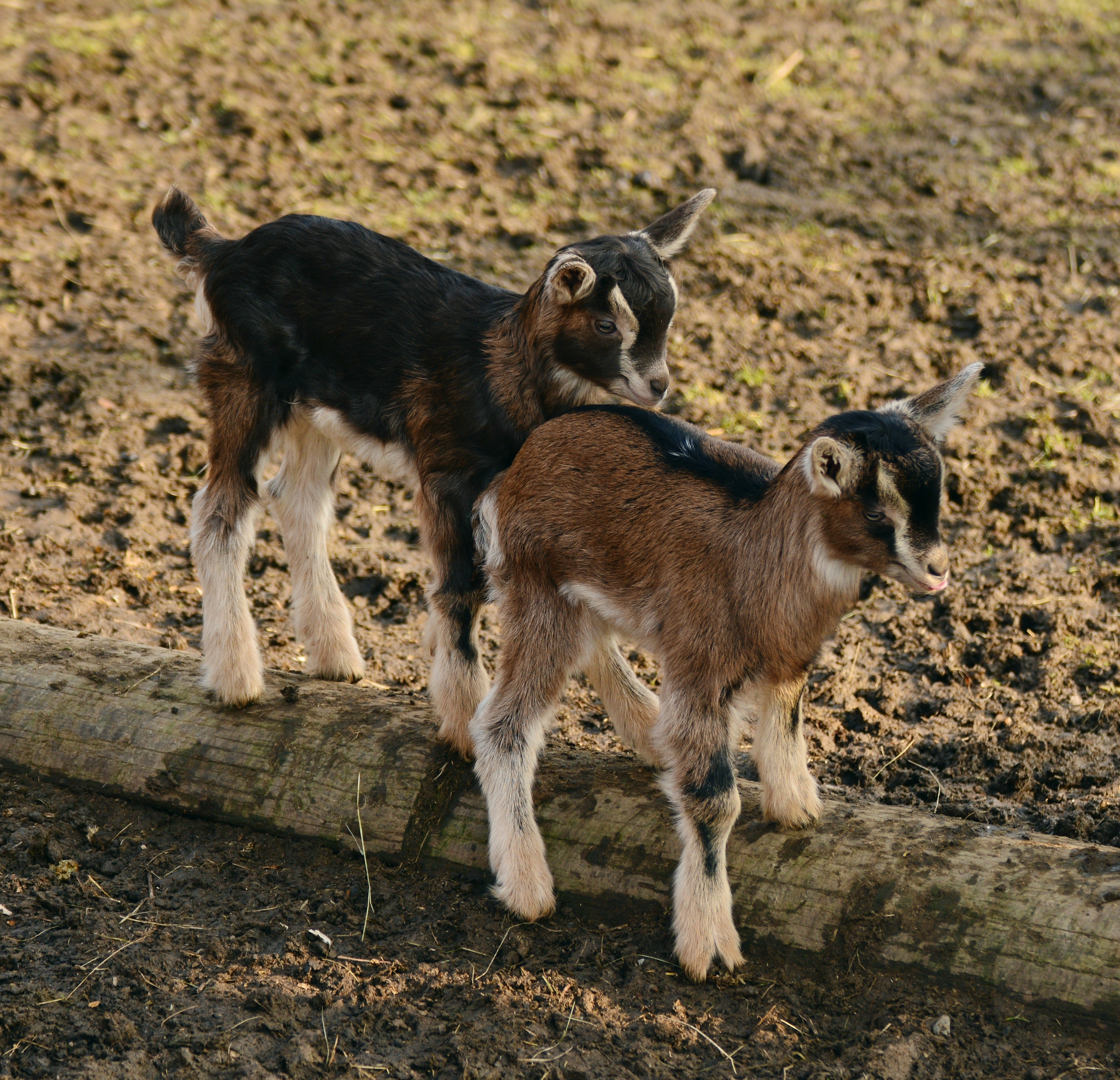 baby-goat-rescue